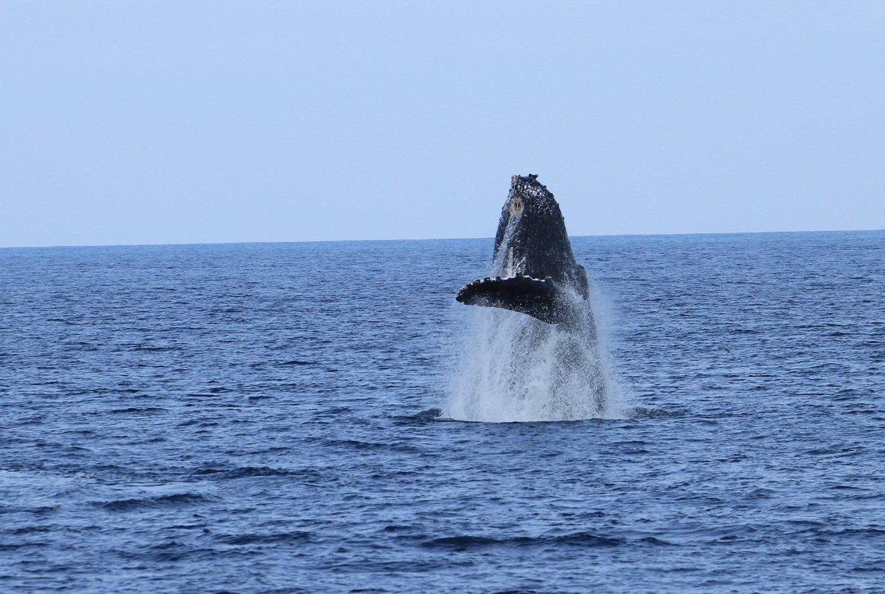 中華鯨豚協會15日在台東縣成功鎮三仙台外海拍到大翅鯨媽媽躍身。照片/東管處提供