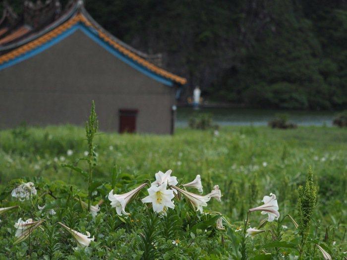 拱蘭宮旁的空地,有百合叢生的群落。圖/朱家瑩攝影