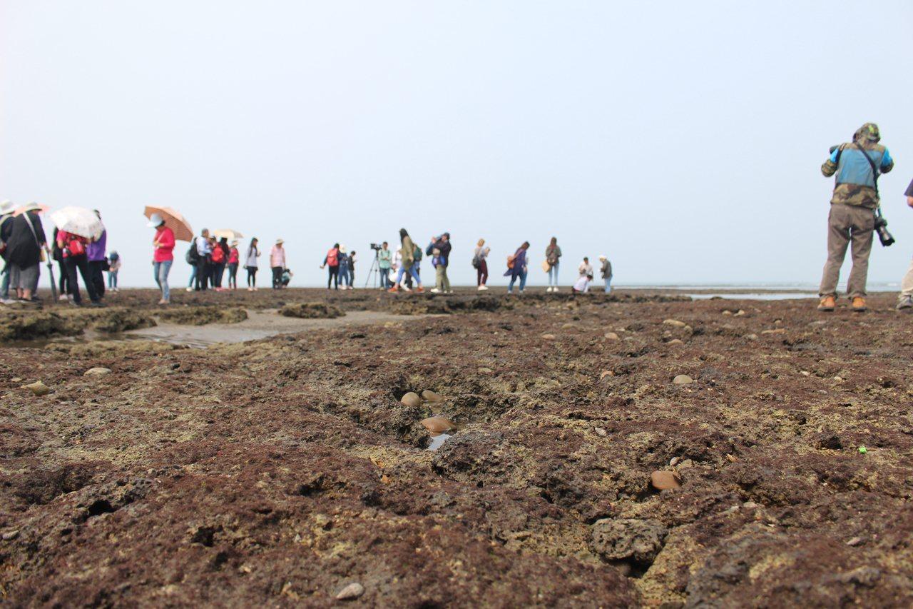 全台灣最大的藻礁群「觀新藻礁」是桃園珍貴的生態資源。記者張雅婷/攝影