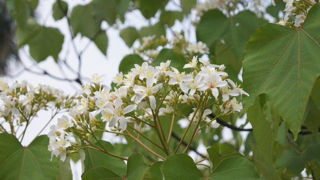 新北桐花祭即將開跑,今年因為暖冬,開花會延後。 圖/土城區公所提供
