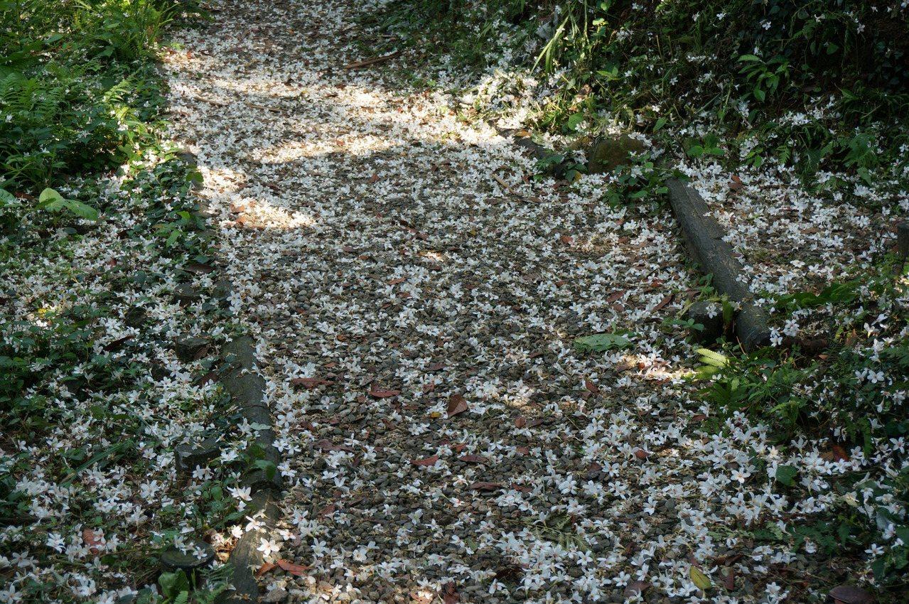 新北桐花祭即將開跑,今年因為暖冬,開花會延後。圖為去年桐花綻放後,灑落滿地。 圖...