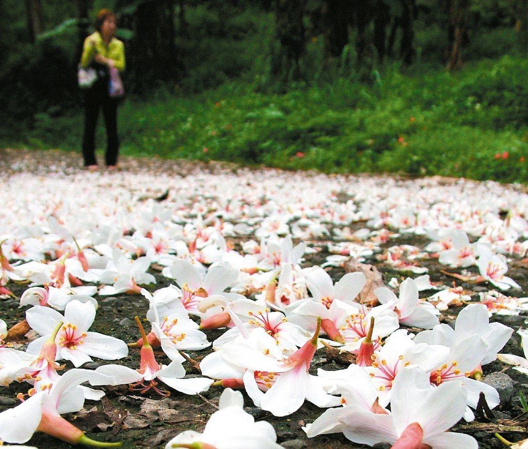 4、5月間,台三線桃竹苗一帶客家庄,純白潔淨的桐花隨風紛飛,成為台灣最美的五月雪...