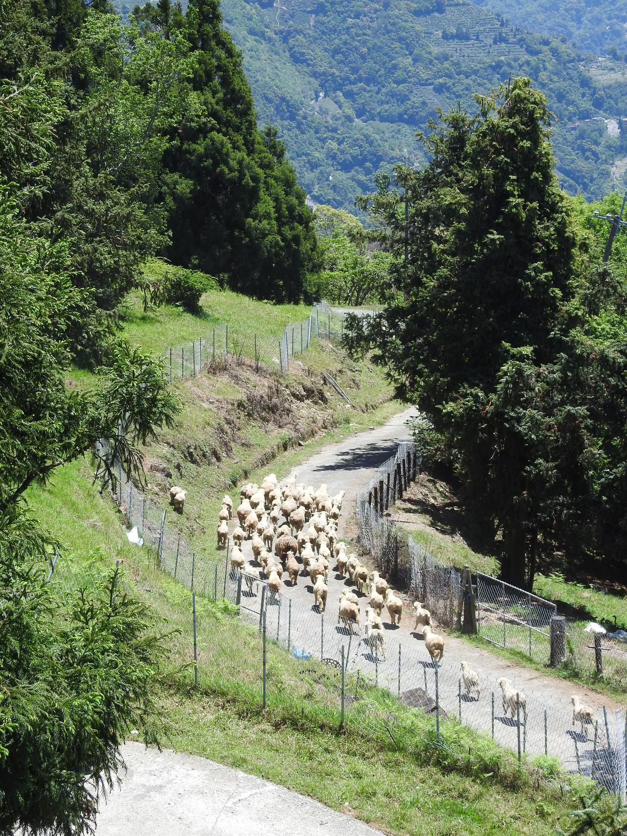 清境高空觀景步道純白蜿蜒在山林間,能無障礙飽覽群山綠樹和草原羊群的景致。記者賴香...
