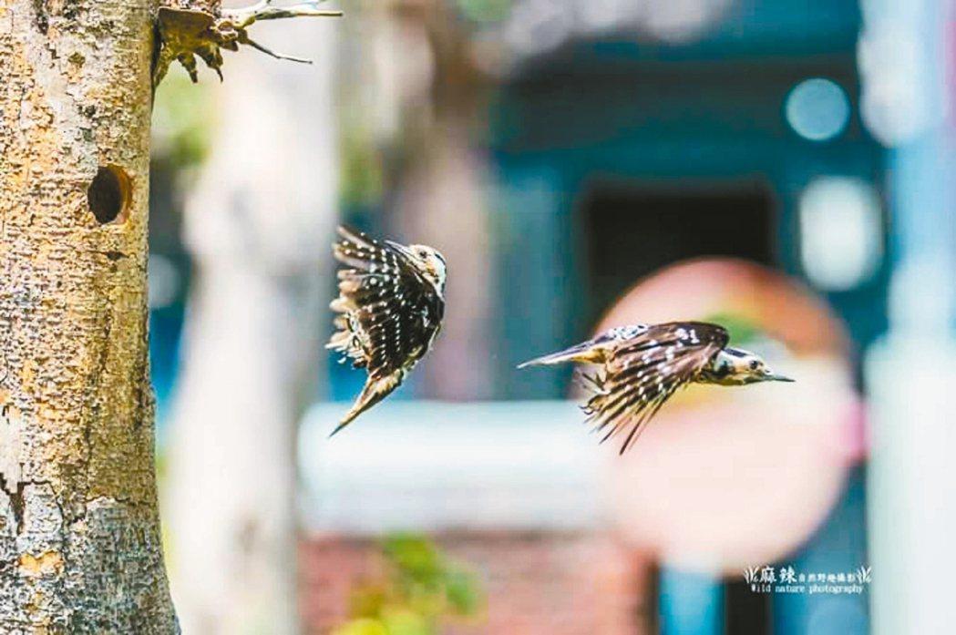 台南市安平國中出現小啄木鳥築巢,親鳥輪流交換守護,親情流露。 記者鄭惠仁/攝影