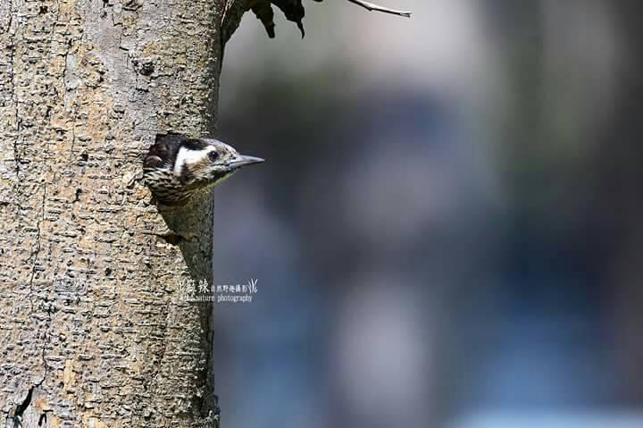 台南市安平國中出現小啄木鳥築巢,母鳥探頭瞭望,守護幼鳥。 記者鄭惠仁/攝影