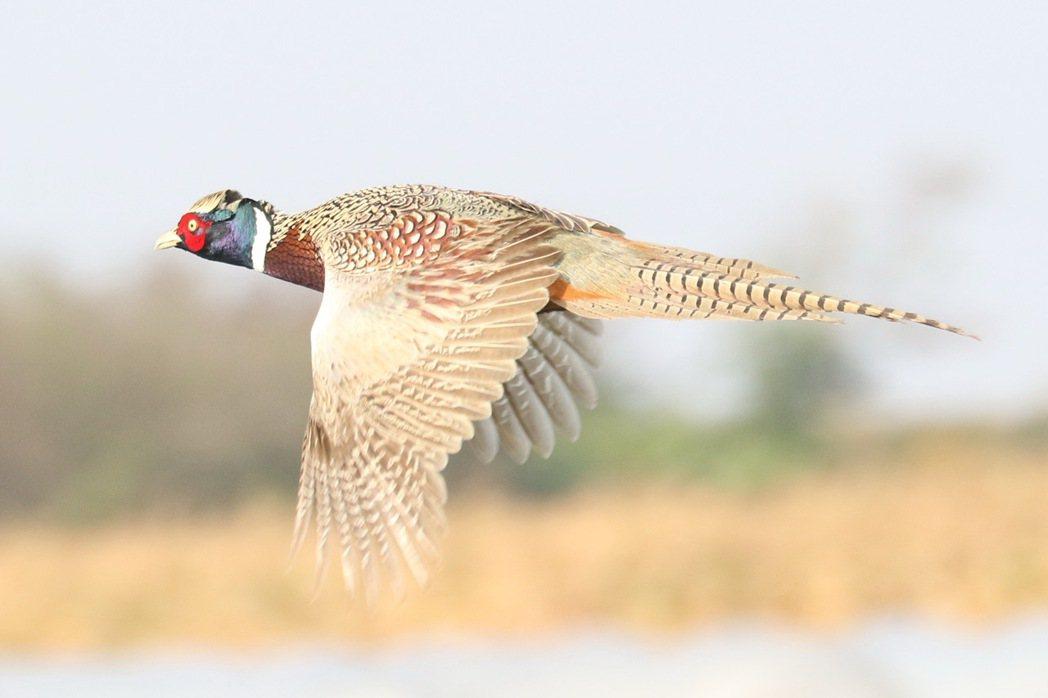 八掌溪中下游沿岸的環頸雉。圖/張文良提供