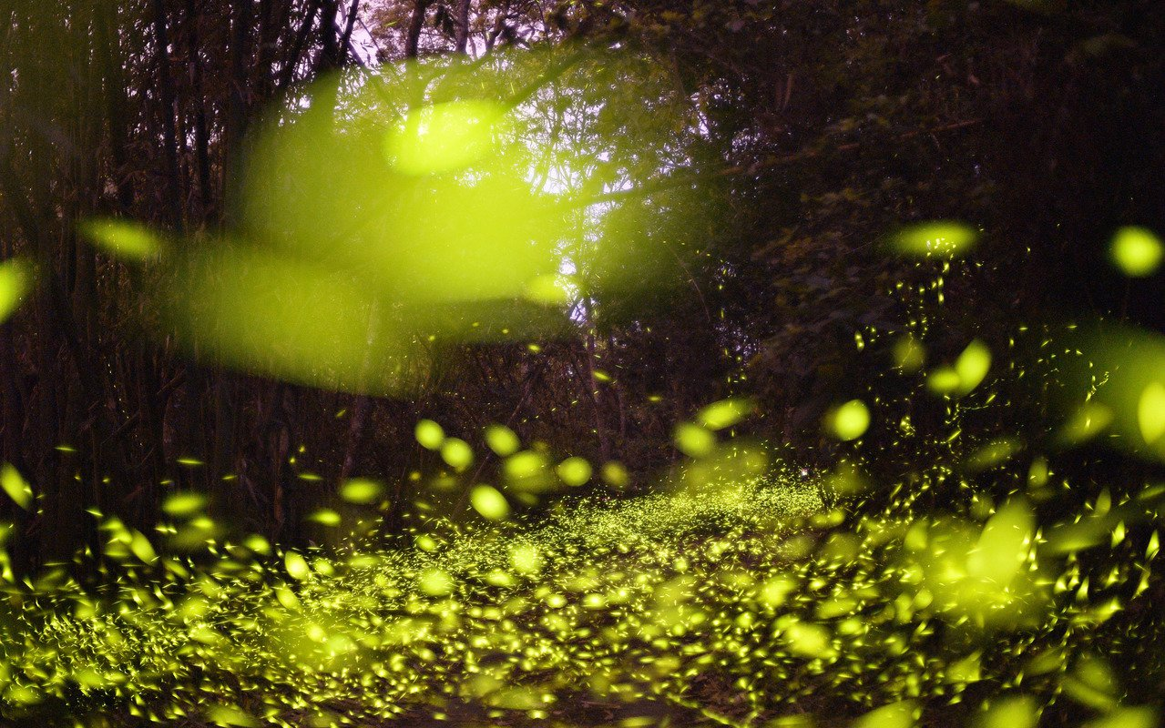 台南關山社區三縣界是螢火蟲秘境,夜晚可見數十萬螢火蟲點點螢光大爆發。記者劉學聖/...