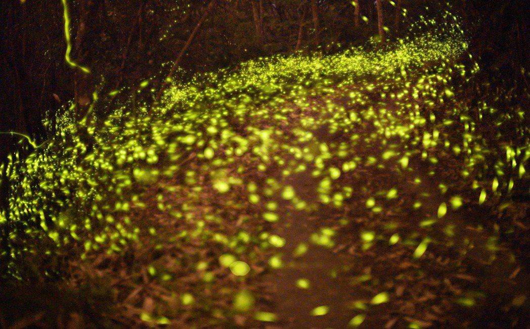 螢光點點的火金姑在樹林間閃爍,要拍攝動態影片需要許多事前準備。記者劉學聖/攝影