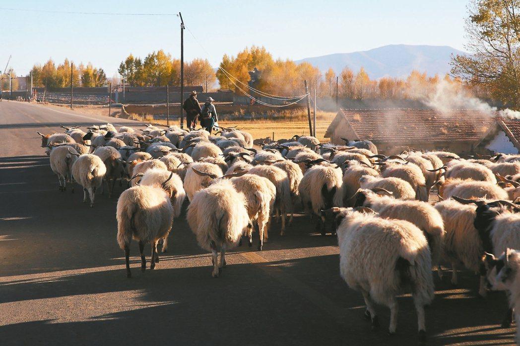 羊群,攝於青海。