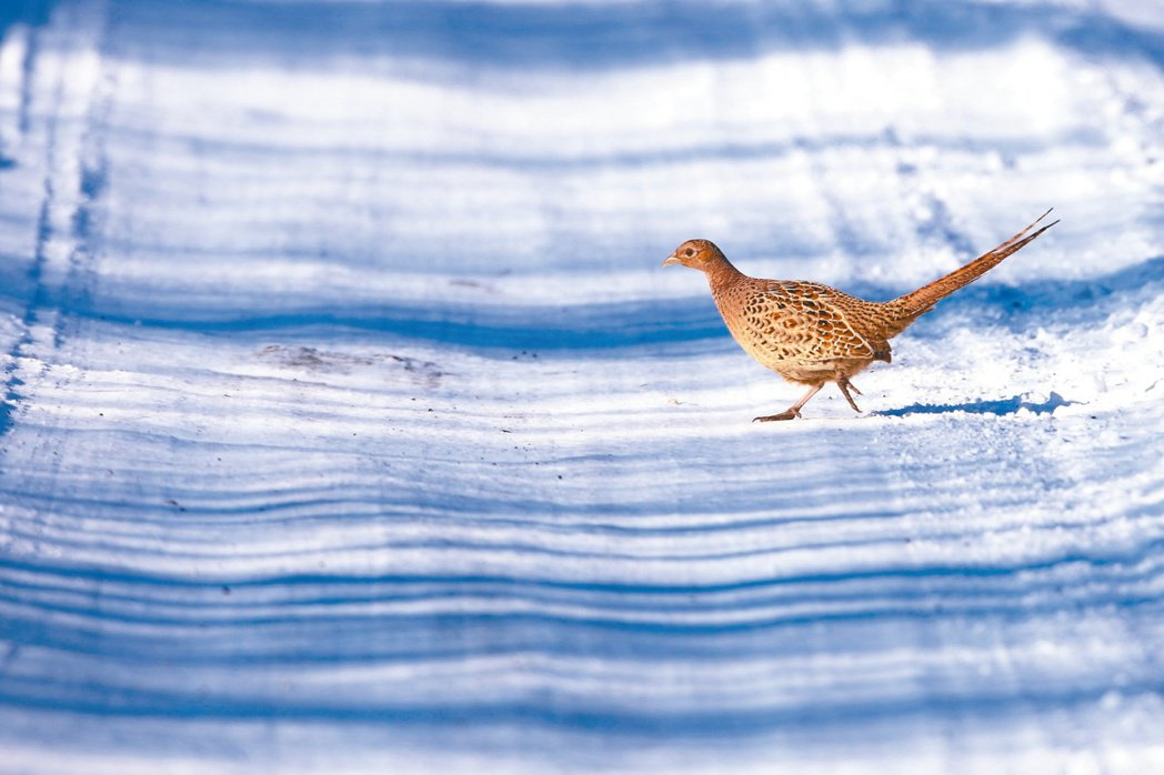 環頸雉,攝於內蒙古。