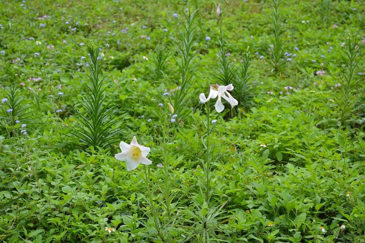 布洛灣的百合花已陸續鑽出大地,預計在4月底前盛開。圖/賴姓民眾提供