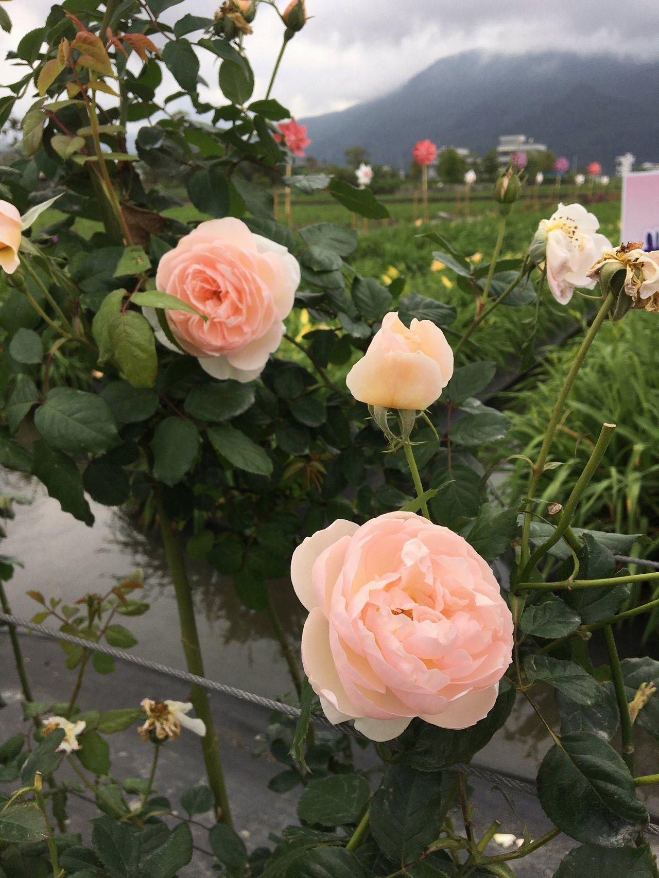 萱草花田周邊有各式不同的、玫瑰花、巴西野牡丹、孤挺花陪襯。記者徐庭揚/攝影