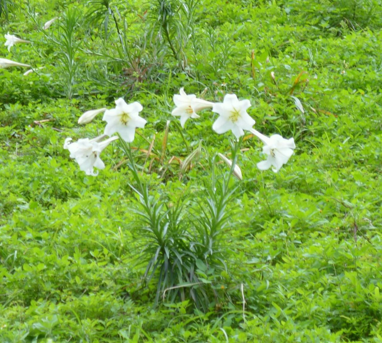 太魯閣國家公園內的布洛灣,每年到了4、5月間就是百合花季。圖/賴姓民眾提供