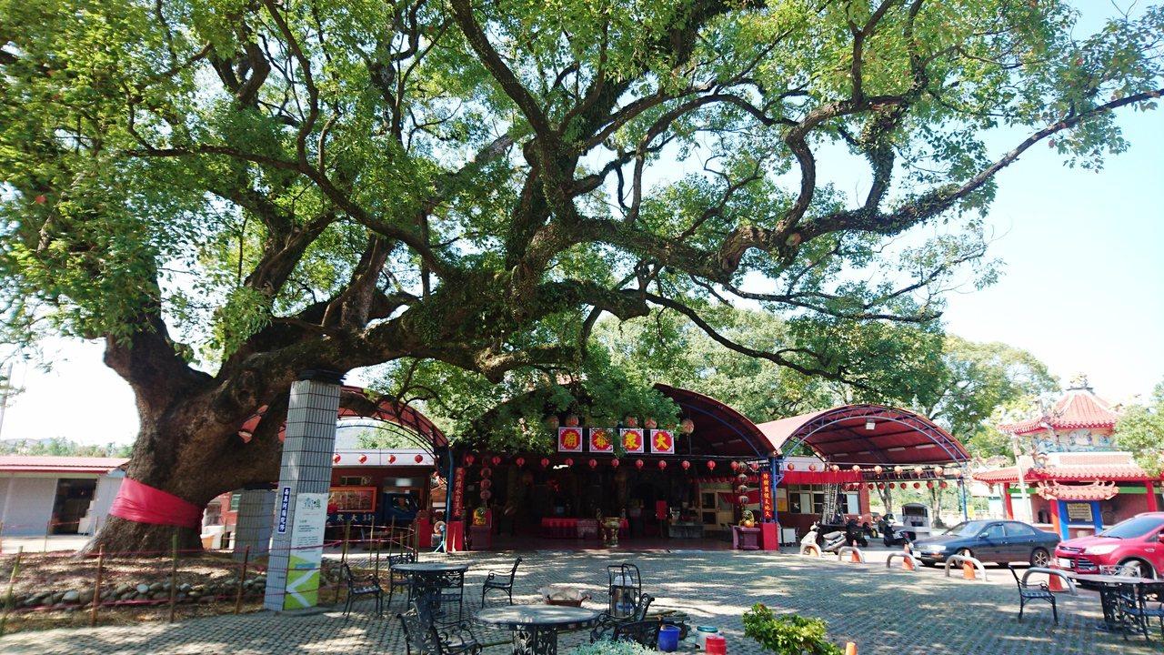 集集700歲大樟樹。聯合報系記者黑中亮/攝影