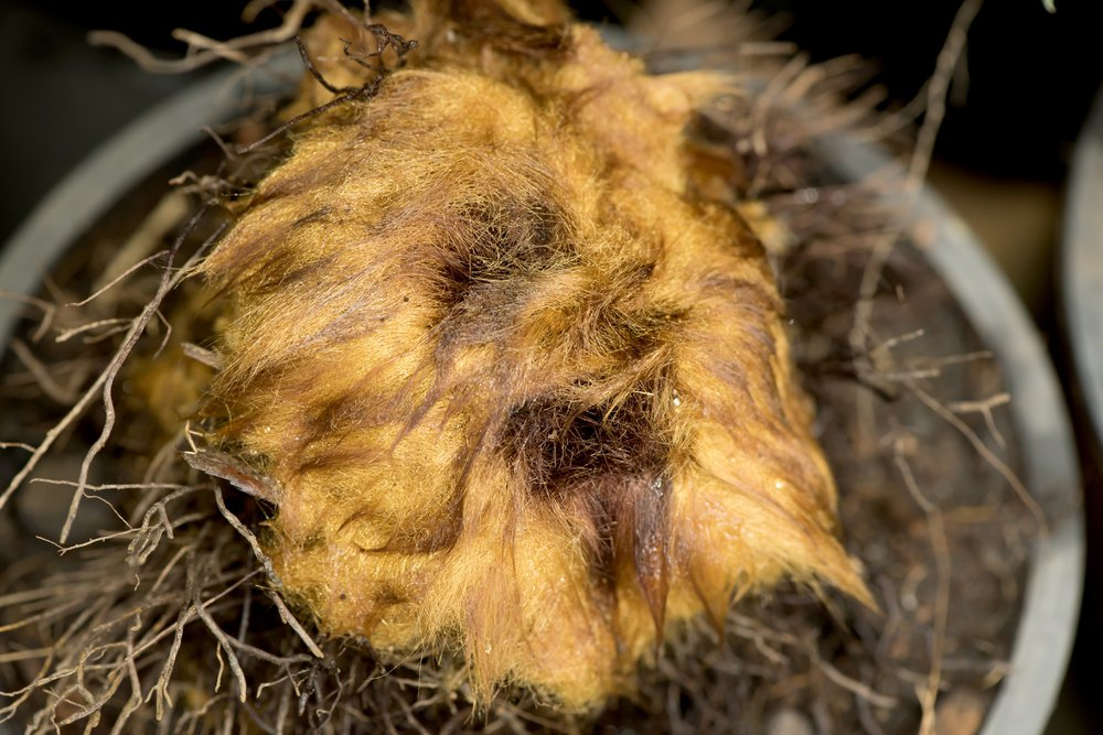 金狗毛蕨在中國不但可以作為藥用,也有人將初長出來、披著黃色絨毛的嫩莖,加上擺飾成...