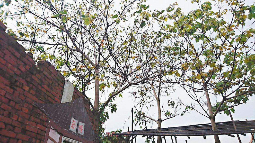 彰化縣桐花季開幕,芬園鄉的油桐只有葉子沒有花。 記者簡慧珍/攝影