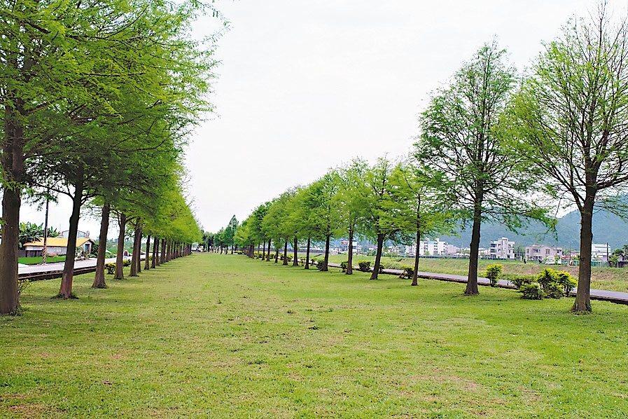 安農溪畔落羽松,秋冬轉黃,春夏則冒出翠綠新芽。 記者張芮瑜/攝影