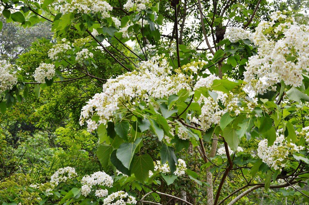 進入「五月雪」桐花開花期,員林滕山步道的桐花也逐漸盛開。 圖/員林市公所提供