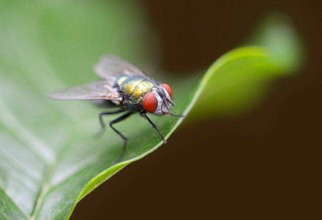 蒼蠅身上有超過200種病菌,專家建議,若蒼蠅碰過的食物,不應再食用。示意圖,擷自...