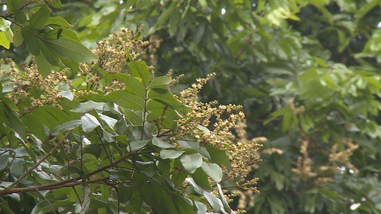 開花期往後延,又碰上雨不斷, 致今年蜂蜜嚴重減產。記者張家樂/攝影
