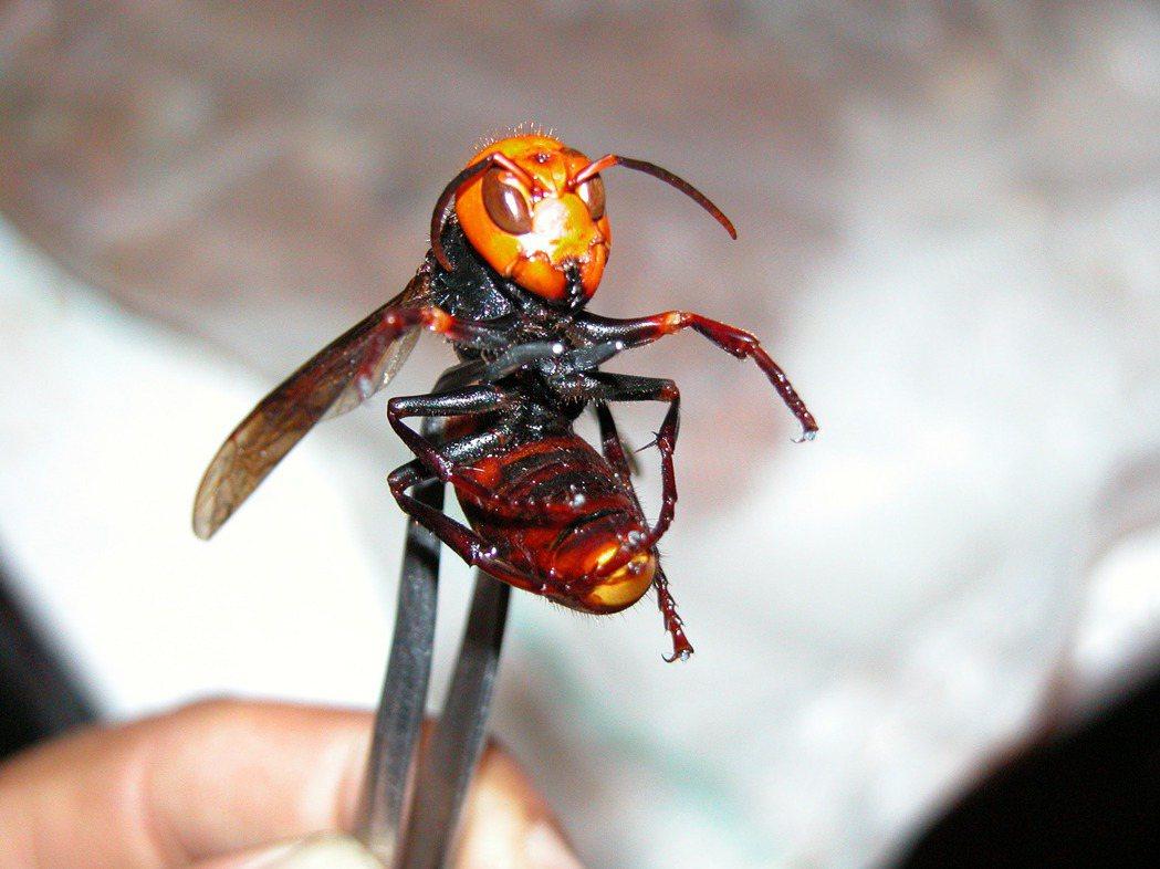 台灣體型最大的虎頭蜂──中華大虎頭蜂,俗稱地籠蜂。 圖/報系資料照片