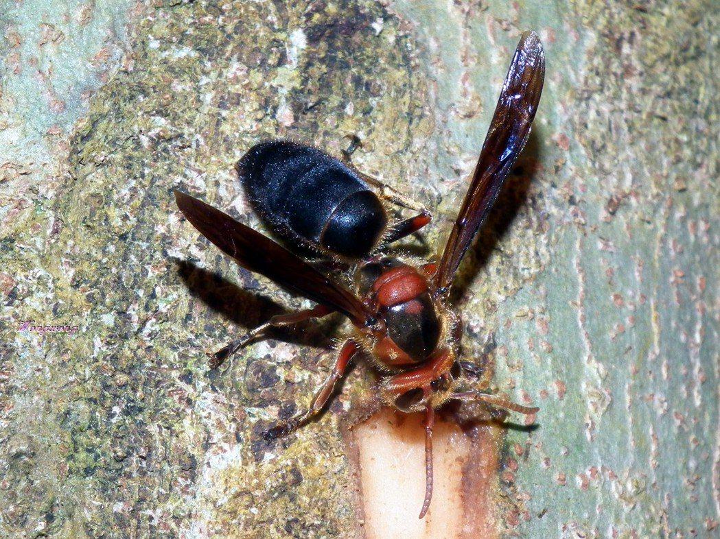 黑絨虎頭蜂被認為是攻擊性最強的虎頭蜂。 圖/取自「台灣物種名錄」