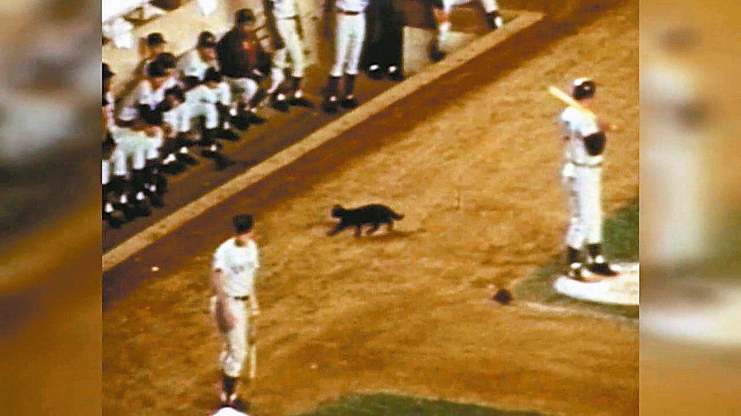 1969年9月一隻黑貓闖進球場,衝到小熊休息室,沒想到為小熊帶來厄運。 截自Yo...