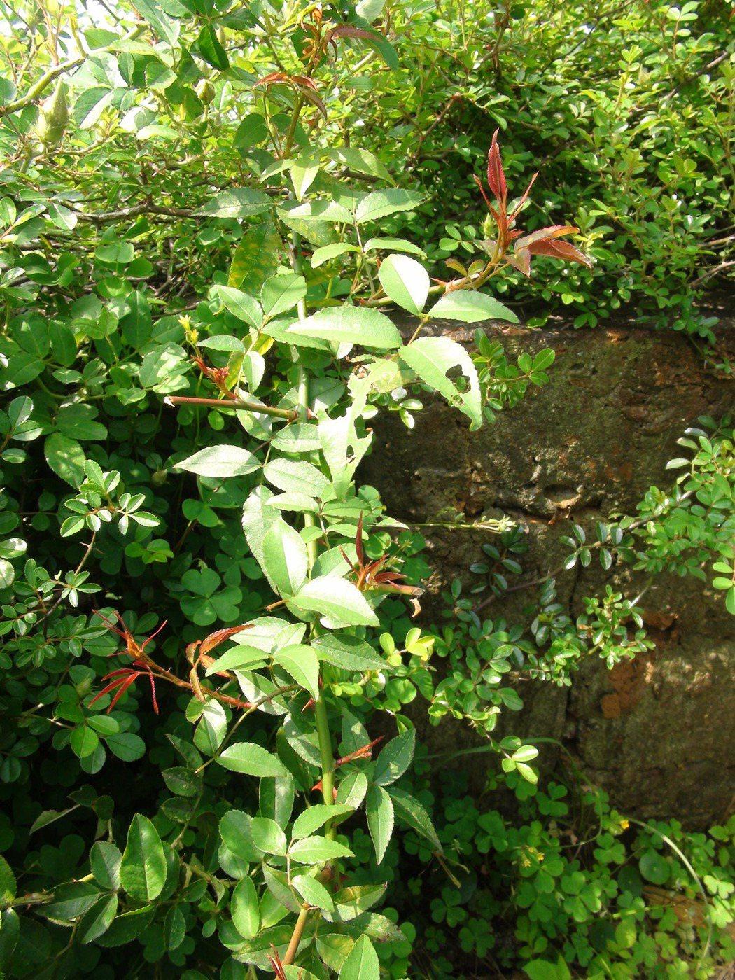 大肚山薔薇及琉球野薔薇都已復育成功,小果薔薇則歷經三年努力,今年終於成功發芽。 ...