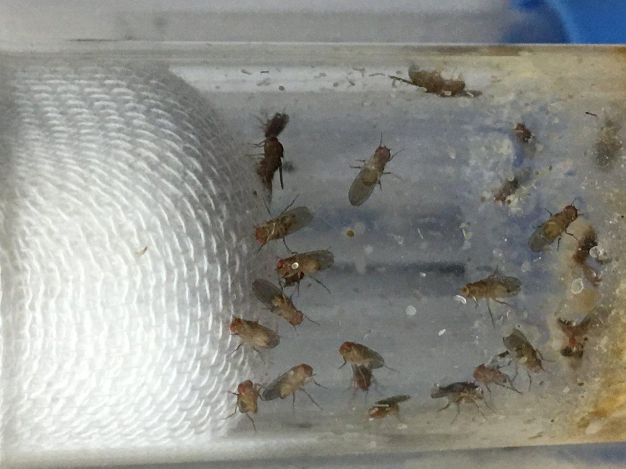 培養中的紅眼果蠅。圖/嘉南藥理大學提供