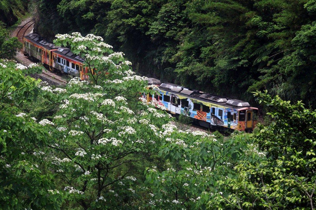 瑞芳四腳亭車站附近,喬好角度,也可以像拍櫻花一樣,把花和火車同框。 圖/趙順景提...