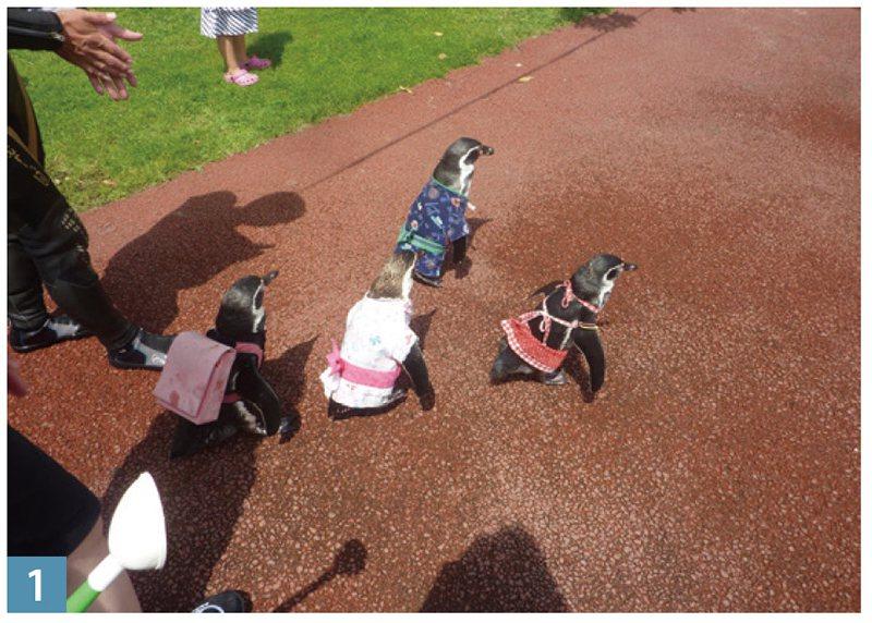 看!可愛的小企鵝在巡遊呢!
