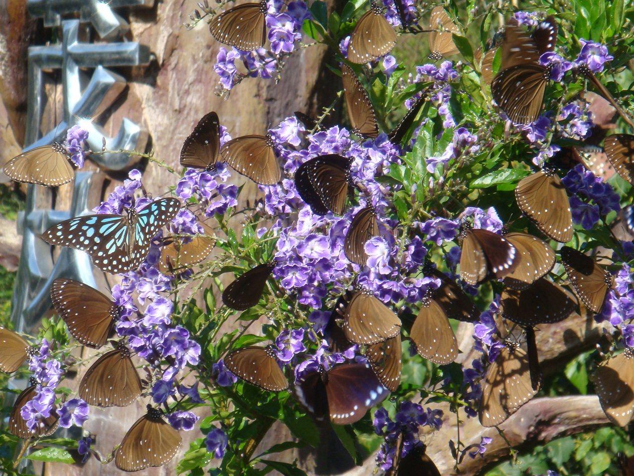 每年冬天,最多有100萬隻紫斑蝶飛至大武山腳下溫暖的山谷,形成「紫蝶幽谷」。圖/...