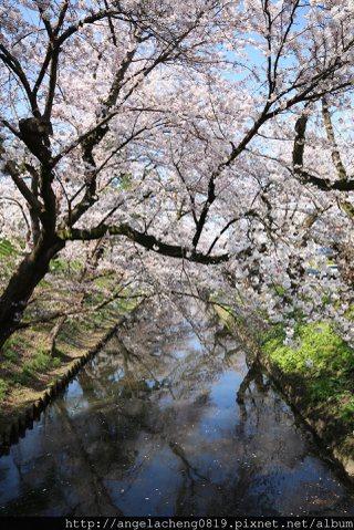到日本青森弘前城賞櫻。