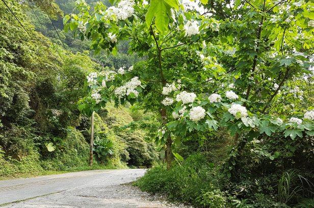 雙潭休閒農業區桐花盛開