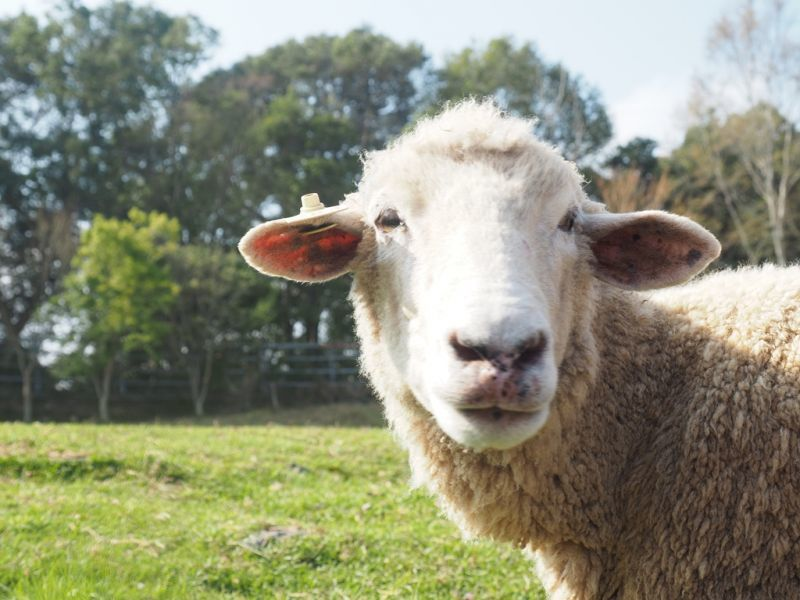 清境超可愛的羊咩咩(攝影/黃郁仁)