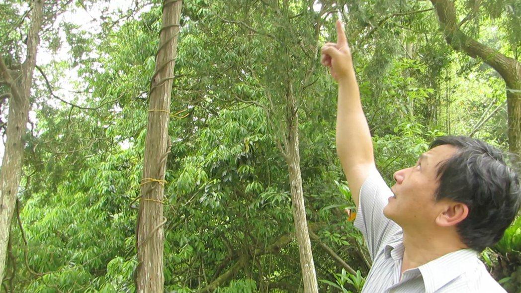 血藤數量越來越少,謝俊慧野外採種回家種植繁衍。 記者范榮達/攝影
