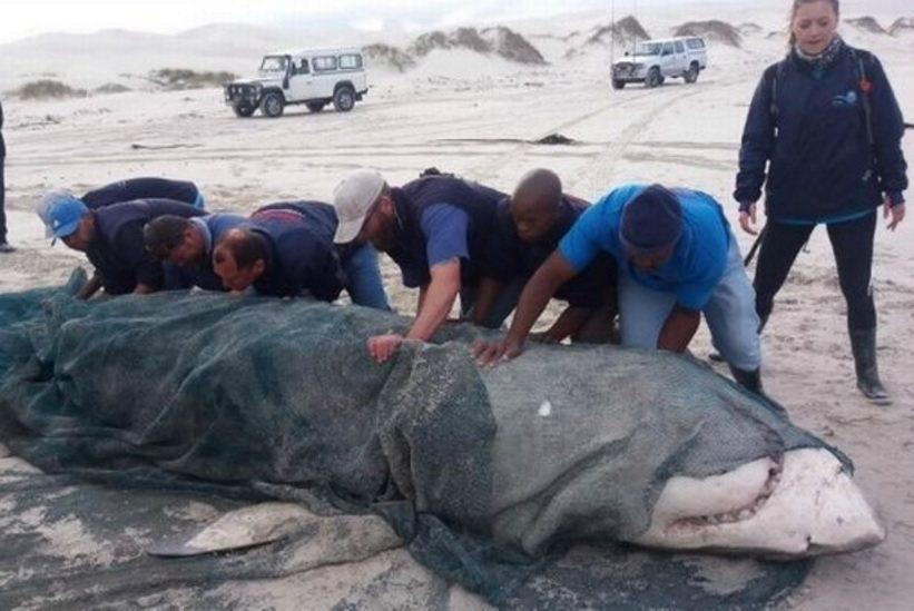 海洋學家至今已在南非發現3具大白鯊屍體,研判是氣候劇烈變遷,導致殺人鯨食物短缺,...