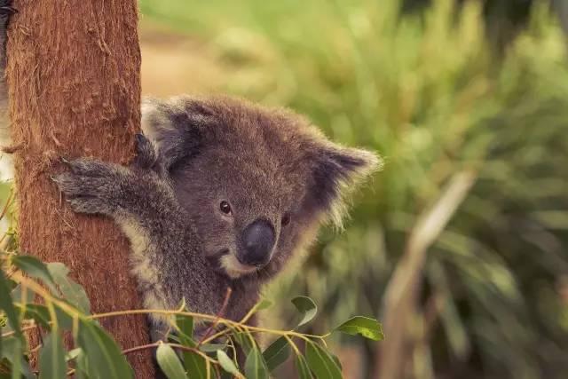 無尾熊保護區。圖/澳洲維多利亞州旅遊局提供