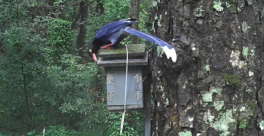近期是山鳥繁殖與育雛高峰,研究人員在奧萬大目睹台灣藍鵲欲獵食青背山雀幼鳥(圖),...