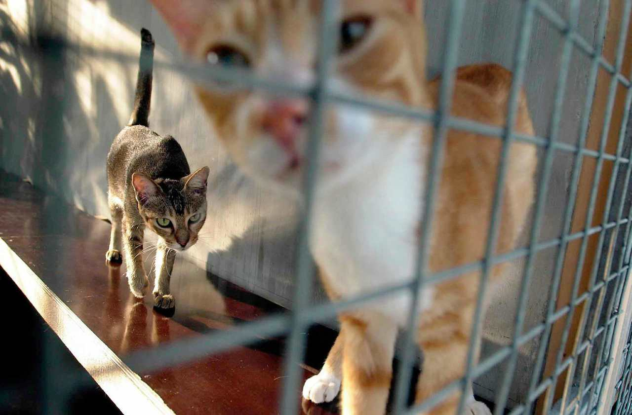 连续杀猫案在网路上的涟漪效应,促成了义顺的悲歌,但这背后又折射出新加坡社会怎样一...