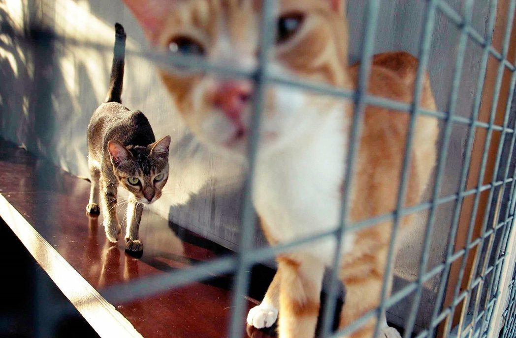 連續殺貓案在網路上的漣漪效應,促成了義順的悲歌,但這背後又折射出新加坡社會怎樣一...