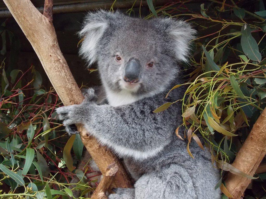 ・阿得雷德野生動物園可以跟袋鼠、樹熊等原生動物一起親密接觸。(圖/gorgewi...