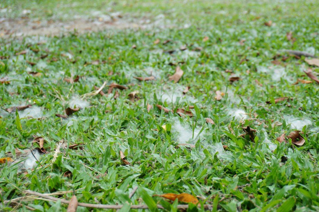 校內草地上的棉絮。記者林伯驊/攝影