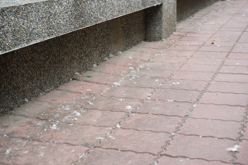 嘉市大同國小外的人行道上散落棉絮。記者林伯驊/攝影