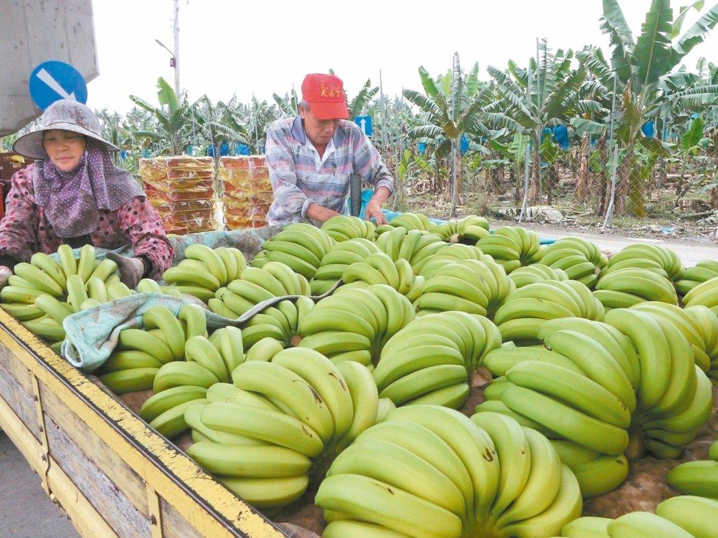 旗山香蕉5月初每公斤50元,但在官員發表相關言論後,價格滑落至20元,蕉農焦慮不...