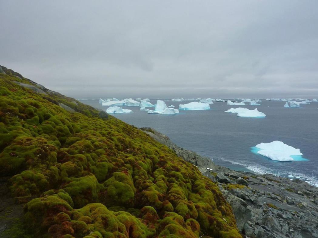 全球暖化造成南極洲冰層融化,過去50年來植物陸續出現,銀白大地也隨之轉綠。(取材...