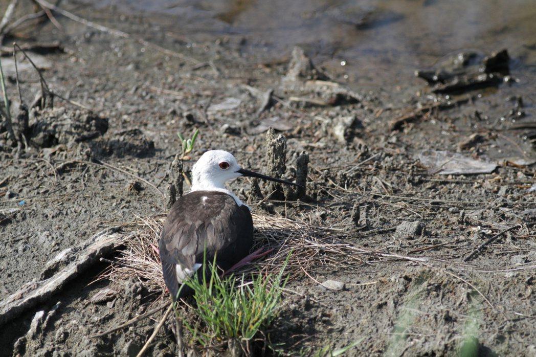 濕地裡的高蹺鴴等「原居民」們正熱鬧地展開繁殖育雛。圖/嘉義林區管理處提供