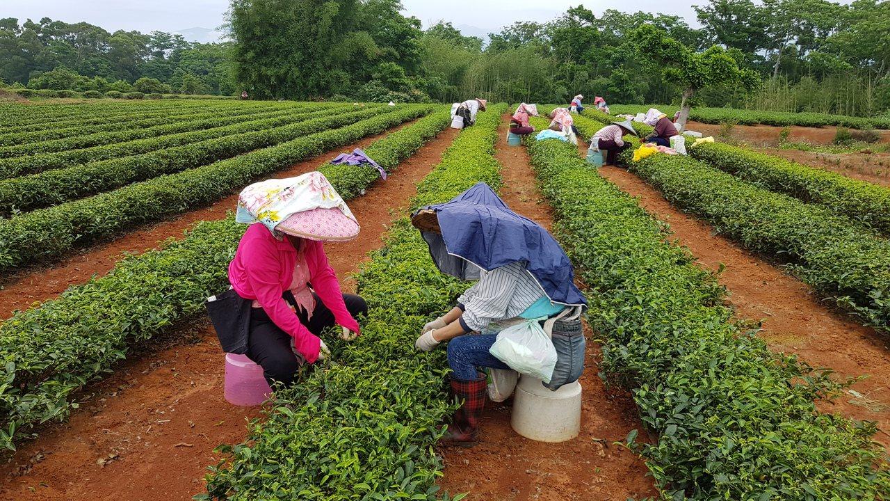 苗栗市八甲茶區是東方美人茶茶菁產區,茶菁品質好,最近常見採茶工忙著採摘茶菁。記者...