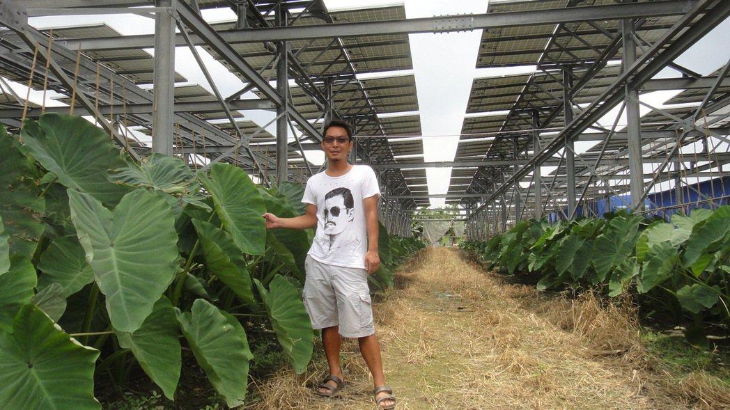 萬巒鄉沿山公路旁一塊農地,面積2公頃的太陽能光電設施下,就種植了整排的農作物芋頭...