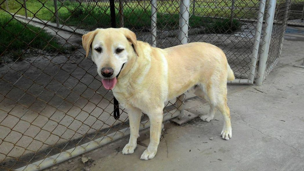 除役緝毒犬Bravo(公),今年10歲。 緝毒犬培訓中心/提供